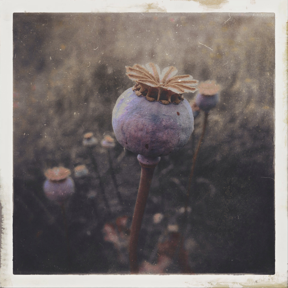 poppy - one of my most popular on instagram