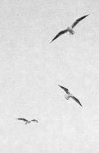 Gulls - iPhoneography element cropped